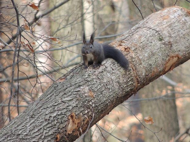 Hrubé tmavé veveriče