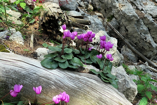 cyklámen purpurový Cyclamen purpurascens Mill.