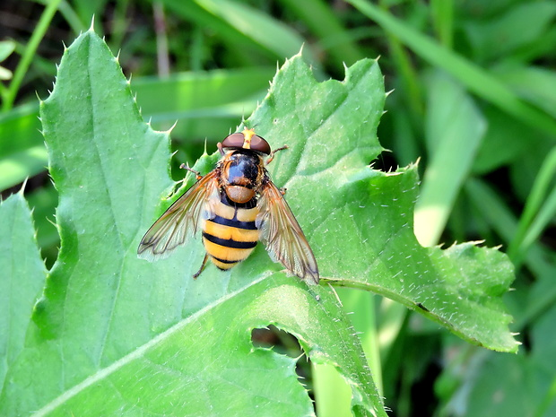 pestrica  Volucella inanis