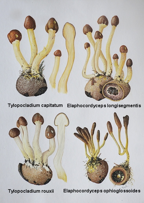 žezlovka Elaphocordyceps sp.
